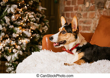 Dog Jorge lies on a white blanket against the background of a Christmas tree.