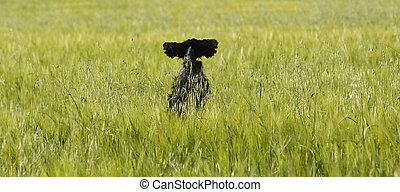 Dog jumping in a wheat field