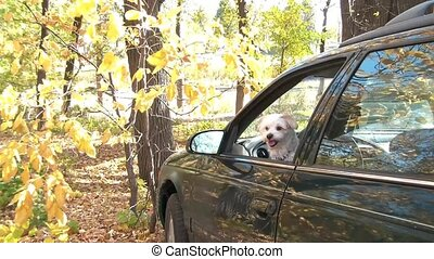 Small white dog jumps out of car in the autumn season with brilliant yellow fall coloring on forest trees in background.
