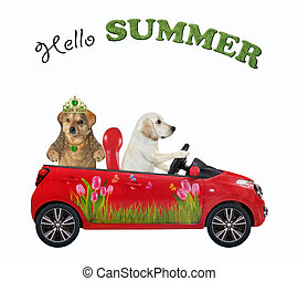 Dog labrador in red car with his friend