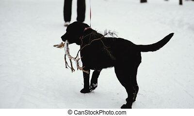 Dog labrador stick in his teeth