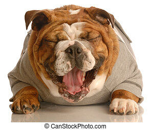 adorable english bulldog laying down with mouth opening laughing