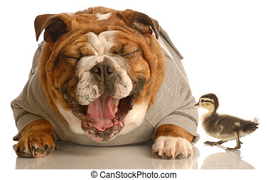 funny animal arguement - english bulldog laughing at baby mallard duck
