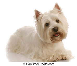 west highland white terrier laying down with reflection on white background