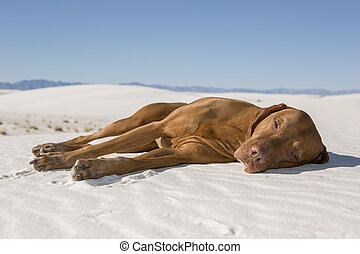 dog laying in desert sand