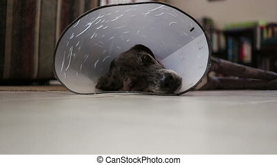 Dog laying on floor with protective cone gets up and walks towards camera