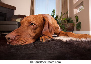 dog laying on house floor
