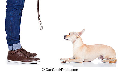 chihuahua dog waiting for a walk with owner, begging , isolated on white background