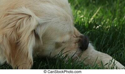 dog licking itself