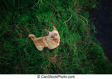 Dog like fox sitting on green grass and looking up