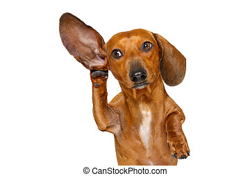dog listening carefully - boss or business dachshund or ...
