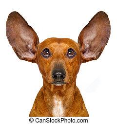 dog listening carefully - dachshund or sausage dog listening...