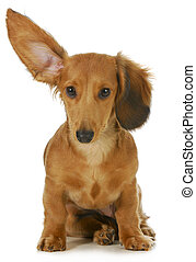 dog listening - miniature long haired dachshund with one ear...