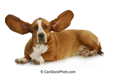 dog listening - basset hound with ears up listening