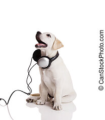 Dog listening to music - Beautiful labrador retriever with...