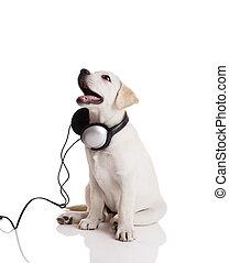 Beautiful labrador retriever with headphones, isolated on white