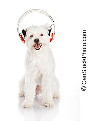 dog listening to music with headphones  isolated on white background.