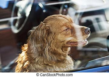 Dog locked in car - Portrait of australian shepherd dog...