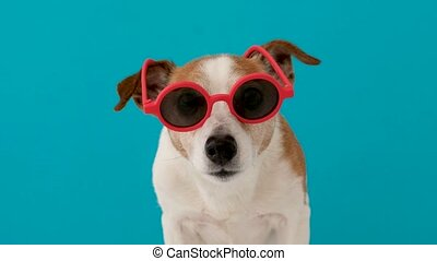 Dog looking at camera in red sunglasses