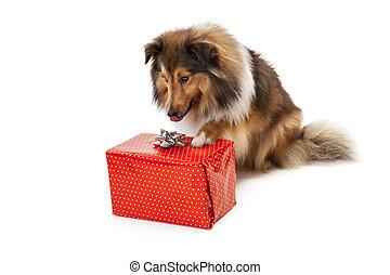 Dog looking at gift