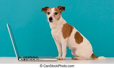 Dog looking at laptop in studio
