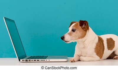 Funny little dog lying in front of laptop and looking with interest at screen in studio with blue background