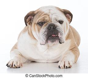 bulldog laying down looking at viewer