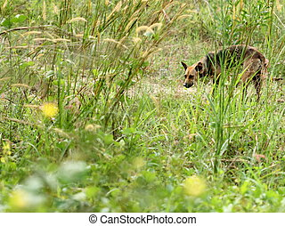 Dog looking for food in grassland