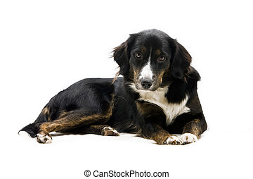 Black dog looking gently at you on a white background