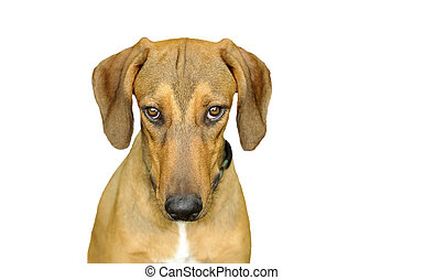Dog Looking Isolated on White