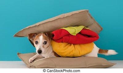 Dog looking like hamburger at home - Cute jack russell ...