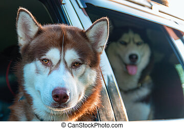 Dog looking out of the car window. Siberian husky dogs sitting in the car.