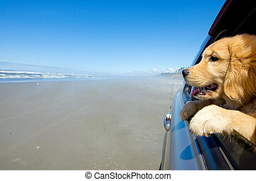 Dog looking out the car window - a golden retriever puppy ...
