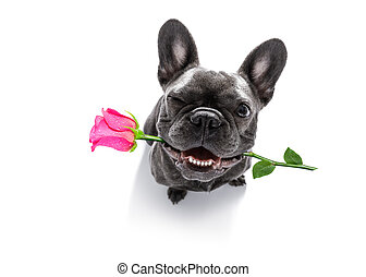 dog looks up with rose for valentines - funny french bulldog...