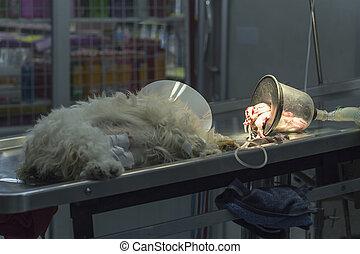 Dog lose consciousness