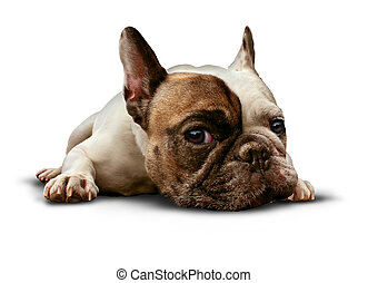 Dog Lying Down - Dog lying down on a white background as a...