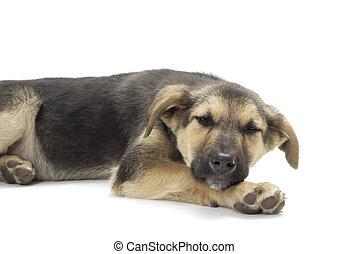 dog lying on a white background