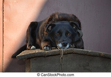 Dog lying on dogs hut.  Watchdog protects the house