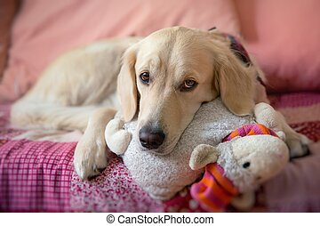 Dog lying on the bed with his head resting on a plush...