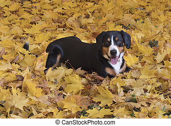 Dog lying on yellow leaves in the Autumn Forest