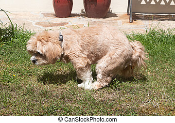 Dog making poop in a garden