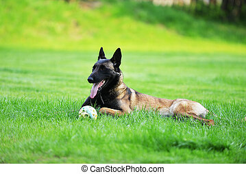 dog, mechelaar, belg