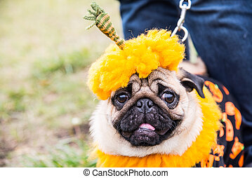 Dog Mops. Costume Pumpkin for a holiday Halloween