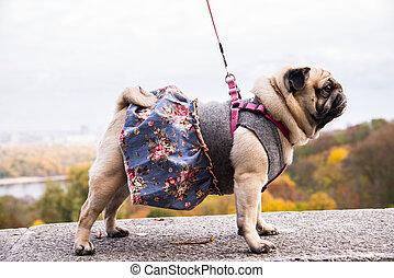 Dog Mops. Dog wearing dog dress.