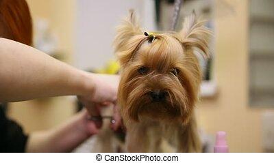 Clíper Mujer Tijeras Zoosalon Perro Yorkshire Pelo