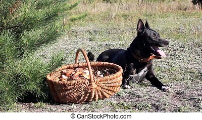 Dog  mushroomer - Dog sitting near basket with mushrooms