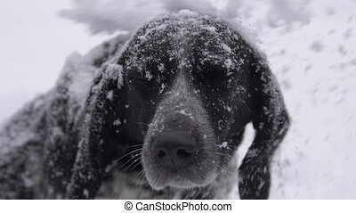 Dog muzzle in snow looks at you - Dog muzzle in snow he is...