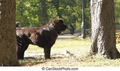 Dog Newfoundland  in a park