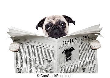 dog newspaper - pug dog reading a the news on the newspaper,...