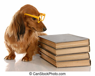 dog obedience - miniature dachshund sitting beside stack of books